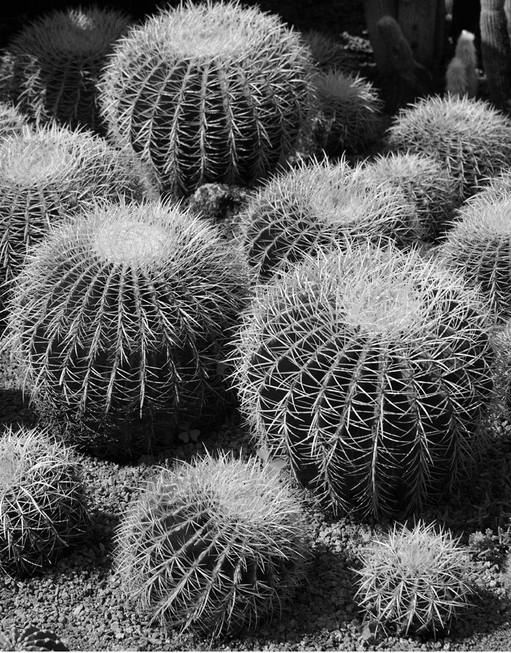 A black and white image of drought friendly cacti.